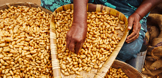 Spanish groundnuts